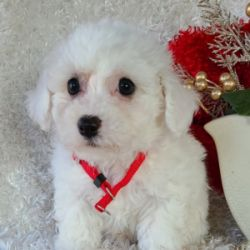 Super cute Bichon Frise Puppies